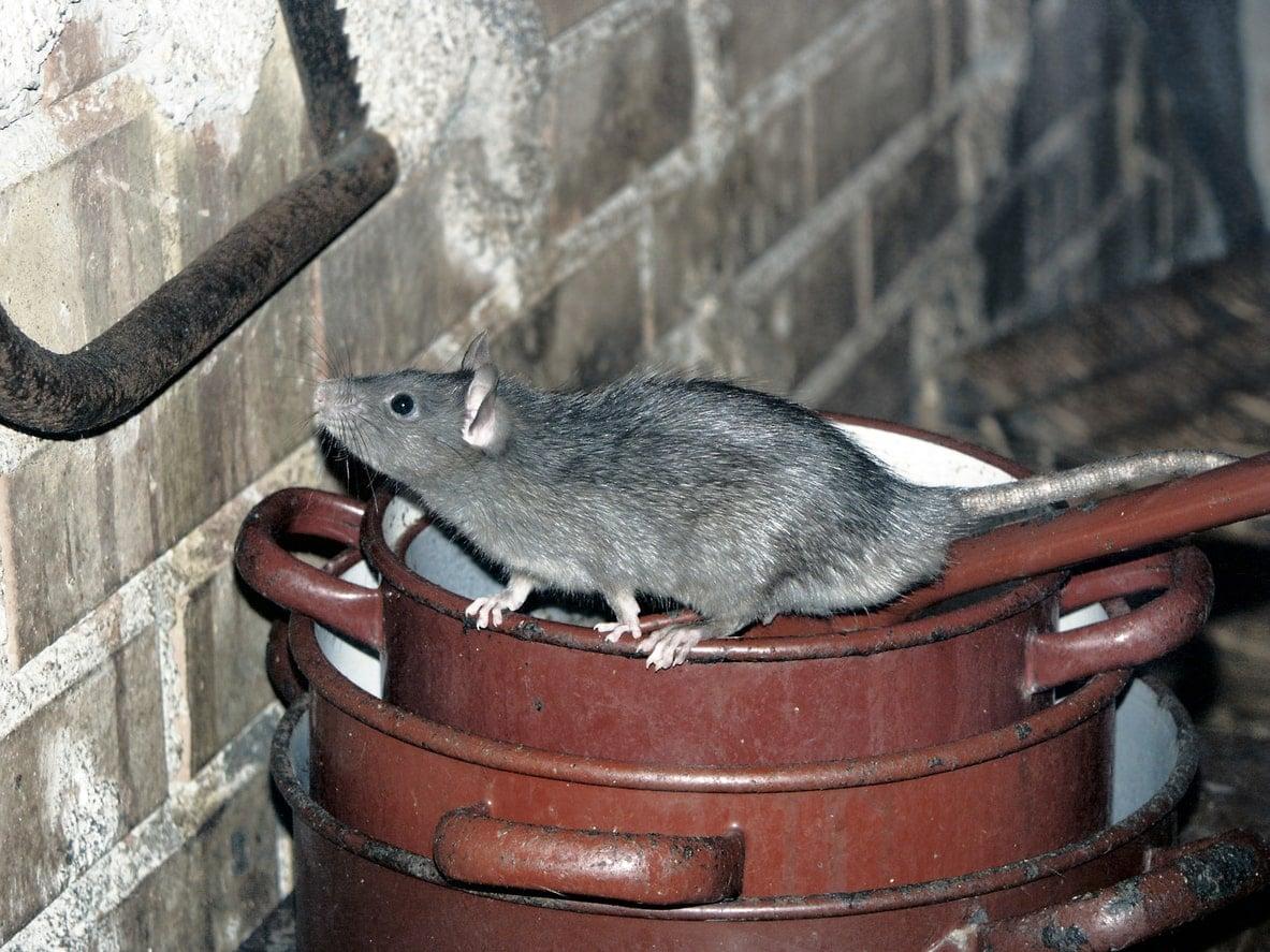 rodent in attic